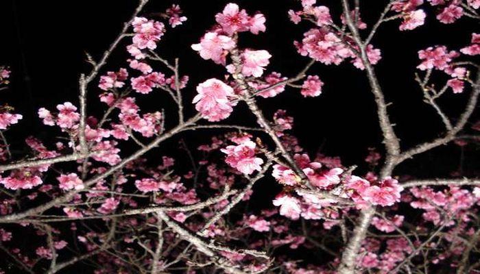 今帰仁城跡の夜桜