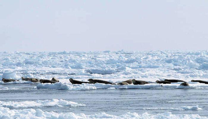 流氷とアザラシ