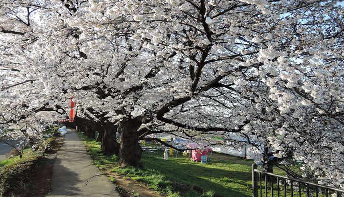 北越谷元荒川桜並木