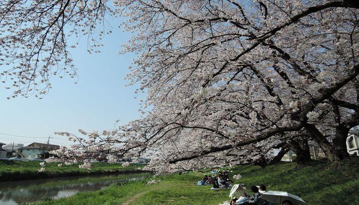 北越谷桜まつりの風景-2