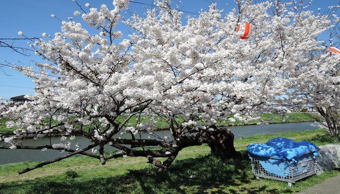北越谷元荒川堤の桜-1