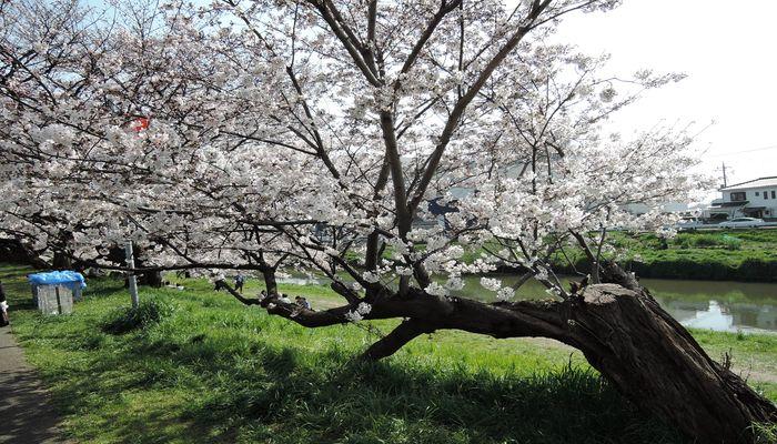 北越谷元荒川堤の桜-2
