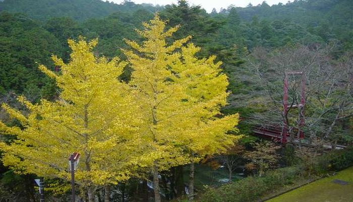 イチョウの黄葉