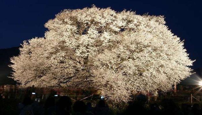 一心行の大桜(ライトアップ)