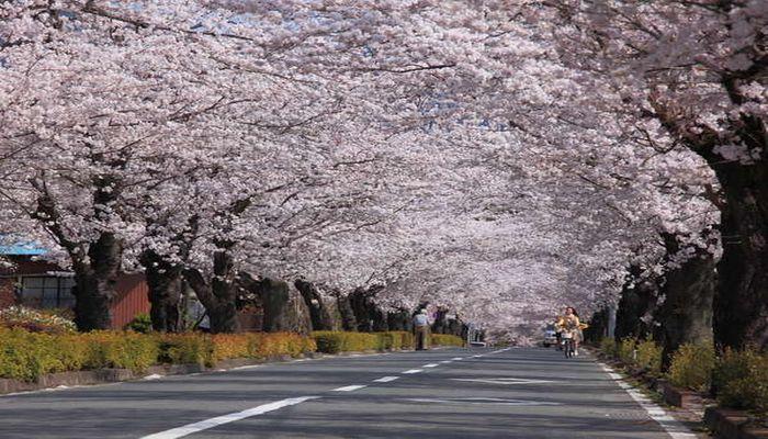 北桜通りの桜のトンネル