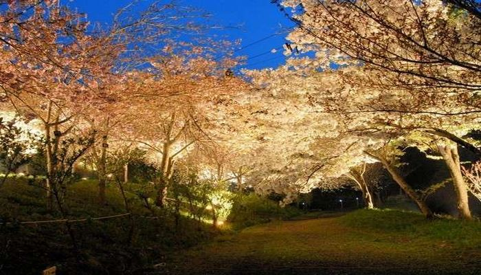 通り抜けの桜