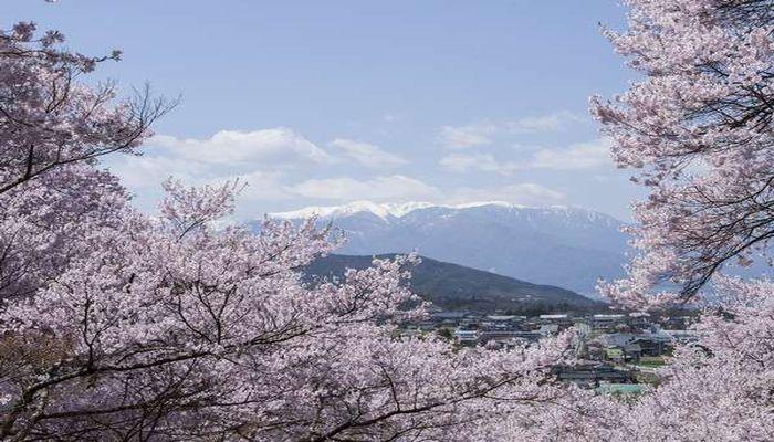 高遠城趾公園の桜