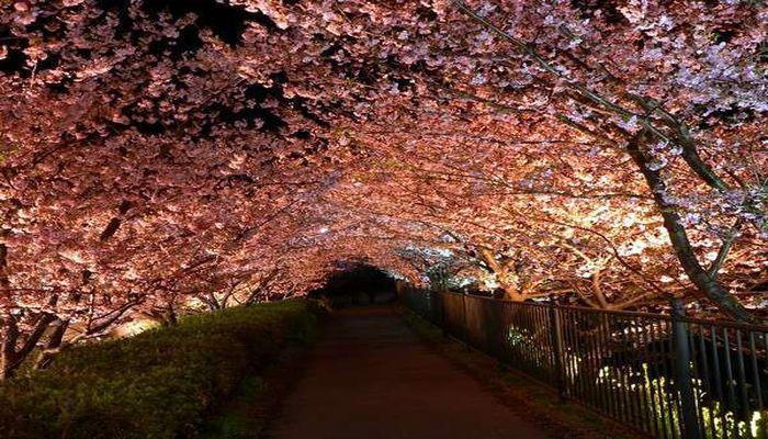 河津桜(夜桜)
