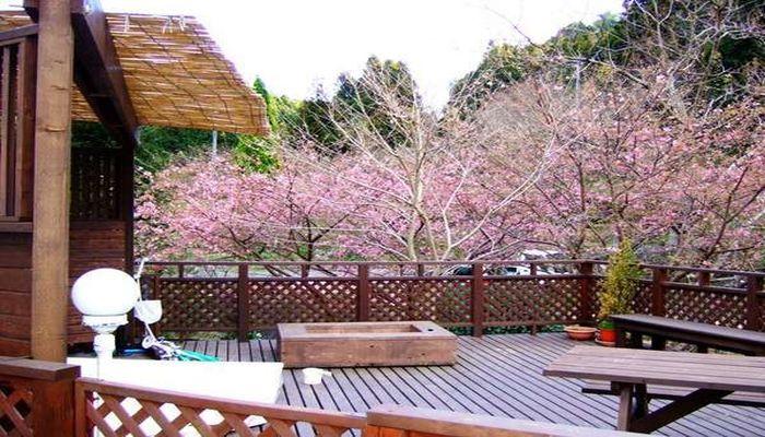 庭に咲く河津桜