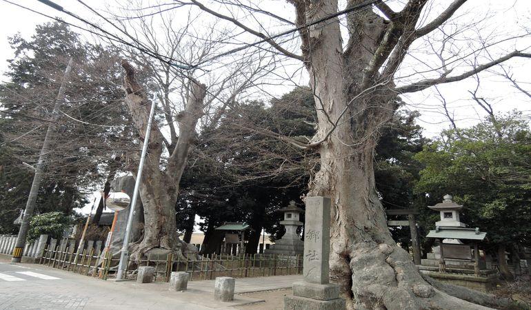 雀神社の大欅