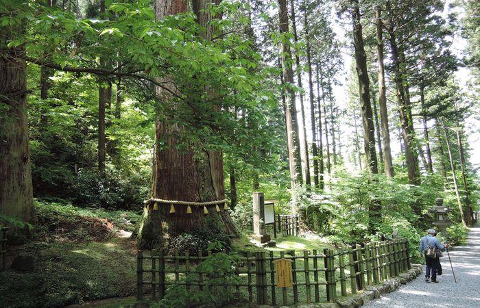 御岩山の三本杉