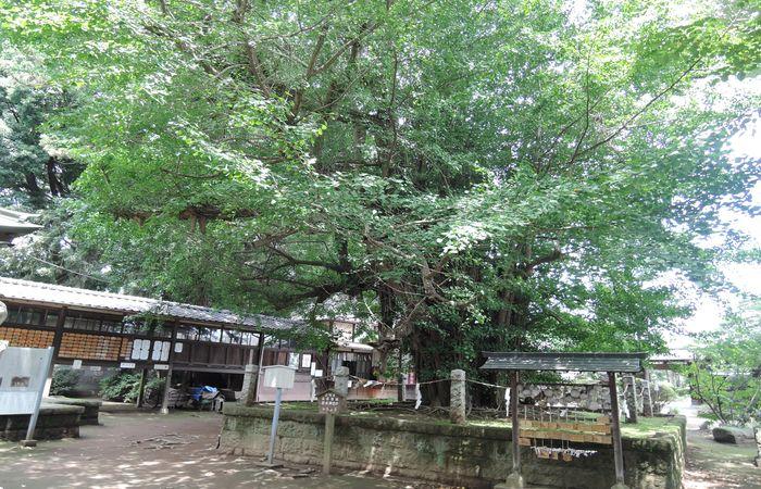 野木神社の大いちょう
