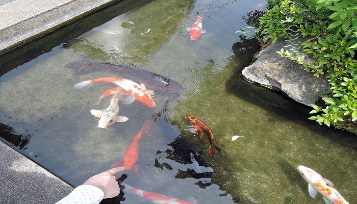 コイが泳ぐ池