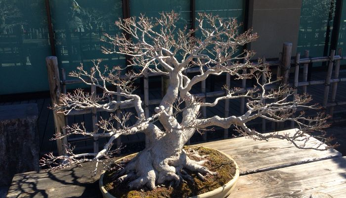 かりん盆栽